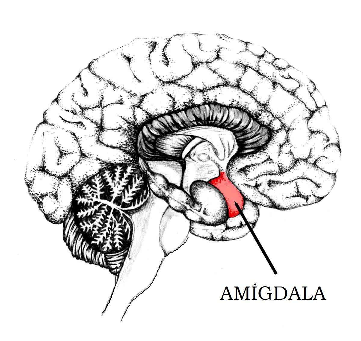 Visión túnel, amigidala cerebro