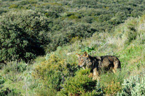Caza lobo sierra de cazorla