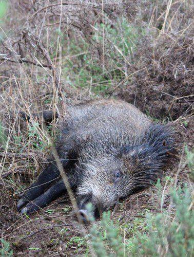 Uno de los jabalíes que se cazaron.