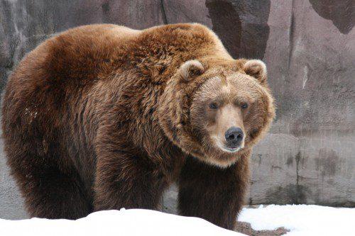 El oso grizzly puede alcanzar pesos de hasta 680 kg y una altura de 2,5 metros.