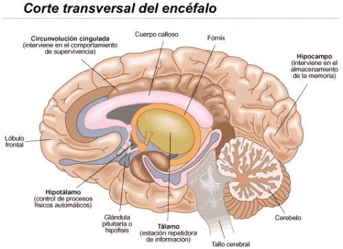 efectos en el cerebro estres combate