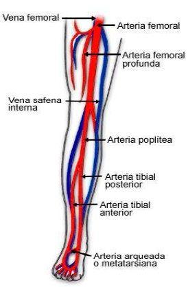 arterias y venas de la pierna
